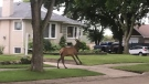 An elk was on the loose in a northeast Edmonton neighbourhood Thursday night. (Twitter/@firepebbler)