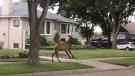 An elk was on the loose in a northeast Edmonton neighbourhood Thursday night. (Twitter/@firepebbler)