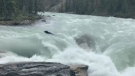 A bear nears the Sunwapta Falls in the Sunwapta River in Jasper National Park on July 8, 2019 (Andrea Lowcock)