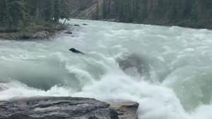 Jasper, bear, waterfall, waterfalls, Sunwapta
