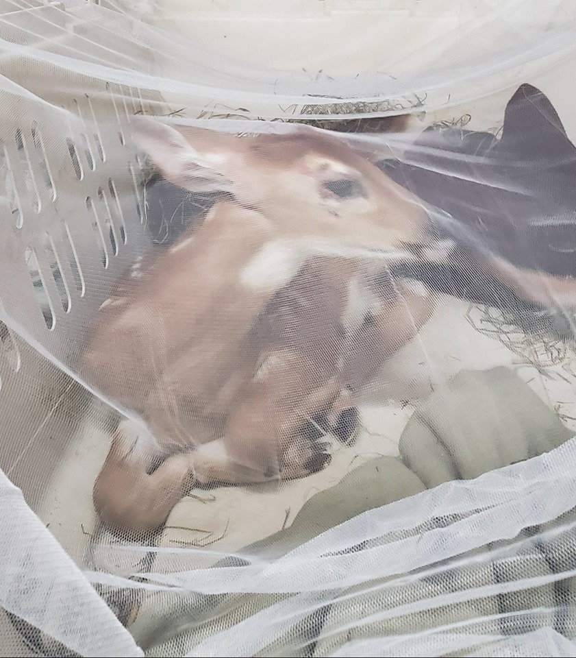 Gilbert the fawn as he arrive at the vet