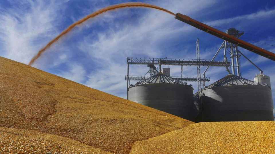 Depositing harvested corn on the ground outside a full grain elevator in Virginia, Ill. (Seth Perlman / AP)
