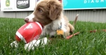 The Calgary Stampeders will be fostering a puppy this season as part of a partnership with the Cochrane Humane Society.