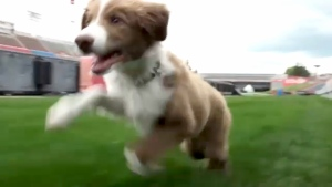 Calgary Stampeders puppy