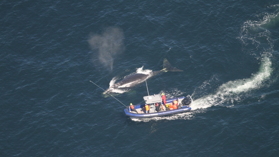 Crew members attempt to disentangle a whale in the Gulf of St. Lawrence in a handout photo. (THE CANADIAN PRESS/HO-Alison Ogilvie, NOAA Fisheries MANDATORY CREDIT)
