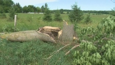 A tree collapsed after a storm in Southern Ontario (July 21, 2019)
