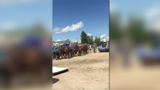 A heifer died following a competition at the Manitoba Stampede Saturday afternoon. (Source: Manitoba Animal Save)