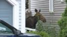 Moose visits Orleans