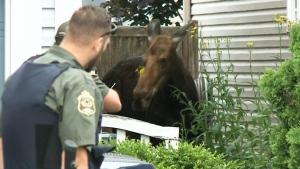 Moose is safe in Larose Forest