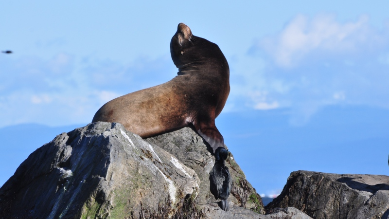 A sea lion soaks up the sun on a jetty near the mouth of the Fraser River in this photo from David Price, submitted through Weather Watch by CTV Vancouver.