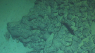Image of a fish from the livestream of Pacific Seamounts Expedition 2019.