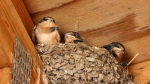 Swallows are seen in one of their nests located in the Vancouver Police Department's Stanley Park barn. (Frank Lin)