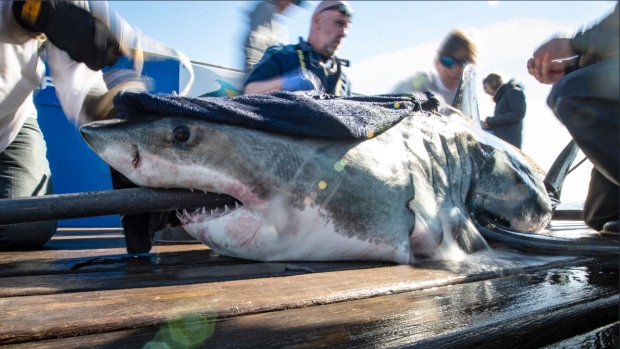 Jane the great white shark pings in Halifax Harbour, then off Liverpool