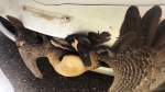 Caught on cam: Goose rescued from car grille
