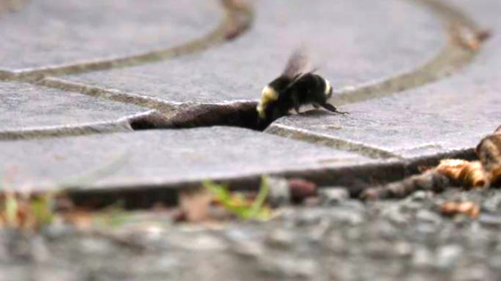 bees manhole Victoria