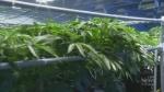 How cannabis makes pain-relief molecule