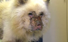 A Humane Society of Durham Region officer displays the mistreated male chow on Wednesday, Aug. 19, 2009.