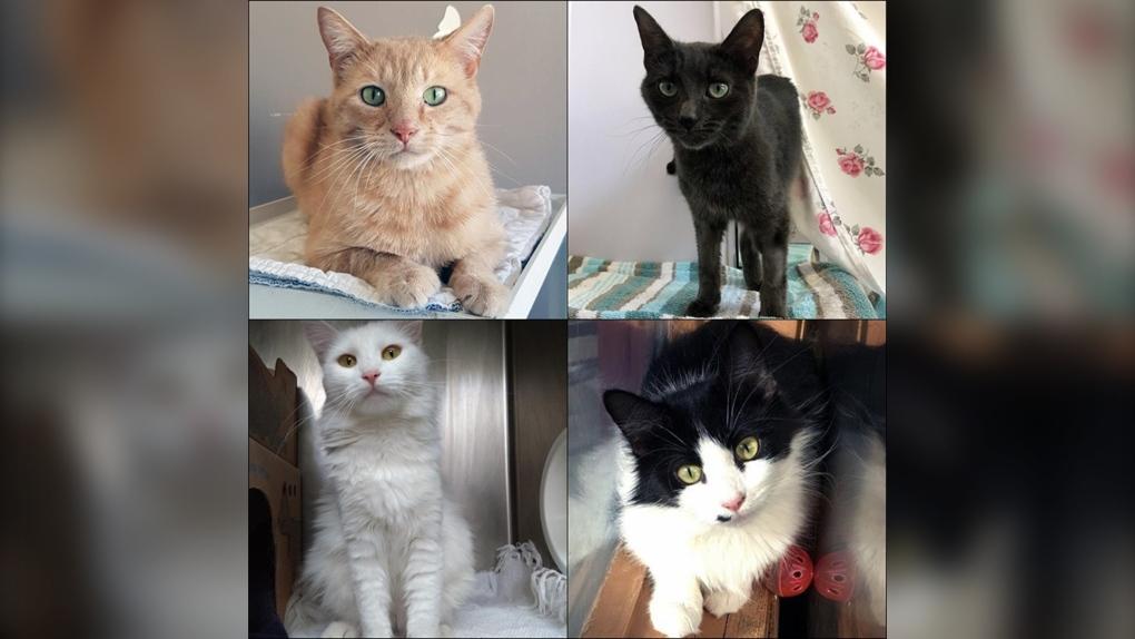 half price cat adoptions bc spca