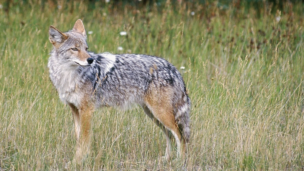 Residents in LaSalle hear coyote cull not the answer