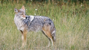 In this Feb. 10, 2013, file photo, a coyote stands in a field. (AP Photo/Daily Inter Lake, Karen Nichols)