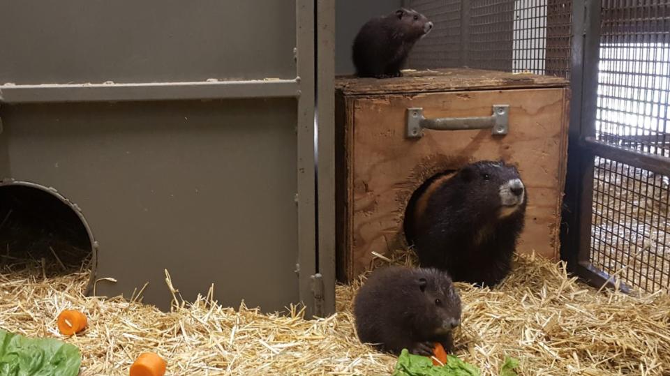 endangered marmots