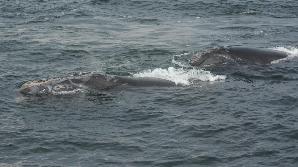 right whale calf