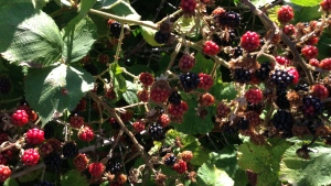 Secret blackberry patch
