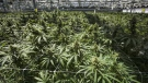 Mature cannabis plants are photographed at the CannTrust Niagara Greenhouse Facility during the grand opening event in Fenwick, Ont., on June 26, 2018. THE CANADIAN PRESS/Tijana Martin