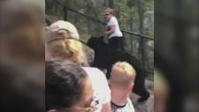 Black bear, Sunwapta Falls, bridge, tourists