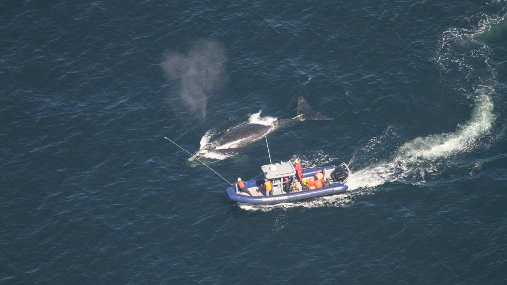 A fourth entangled, endangered right whale seen in Gulf of St. Lawrence