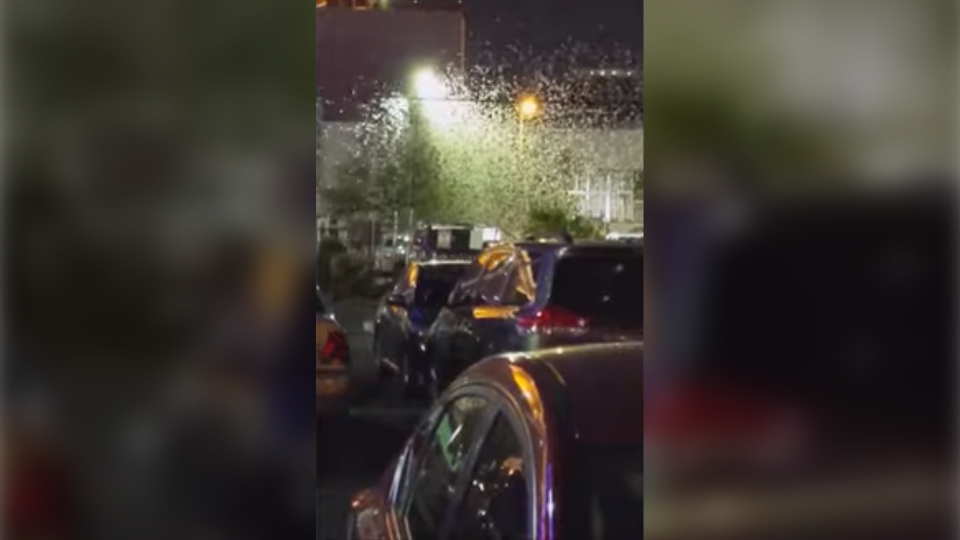 Grasshoppers swarm a light pole in Las Vegas, but experts say residents and tourists have nothing to fear. (Olivia Marin via Storyful)
