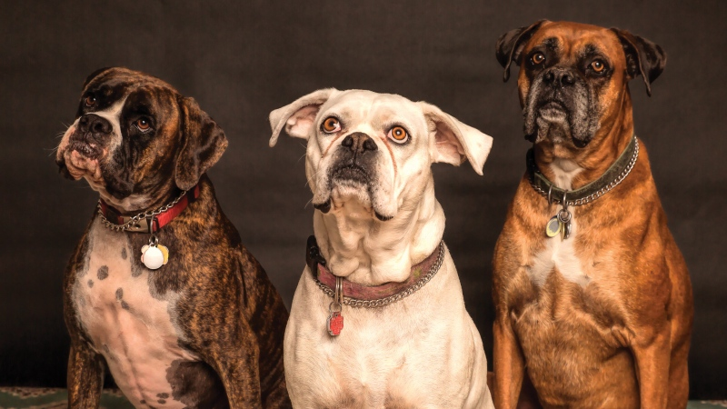 Three dogs are seen in this file photo. (Nancy Nobody / Pexels)