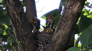 A family of baby robins nest in a yard in St. Vital. (Source: Rob Tkach)
