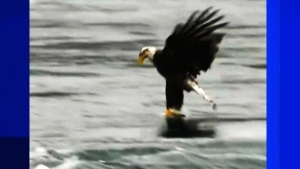 Trending: Eagle snatch caught on camera