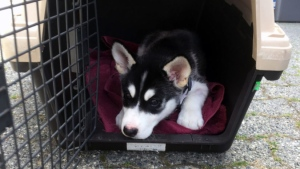 An 11-week-old Husky named Bear is seen in this image provided by the BC SPCA.