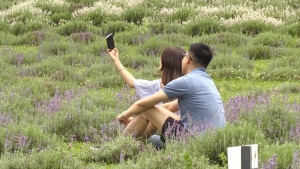 Visitors take photos while seated among the lavender at Terre Bleu. (CTV News Kitchener)