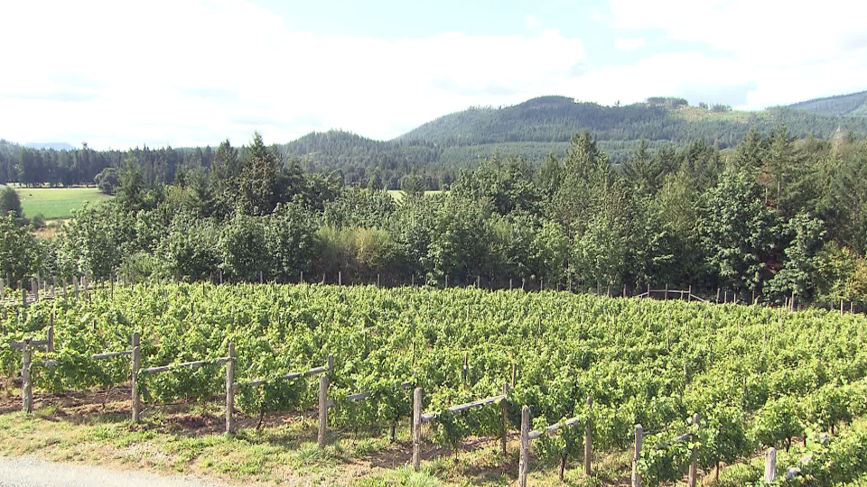 Vines are seen at the Blue Grouse Estate Winery in B.C.'s Cowichan Valley.