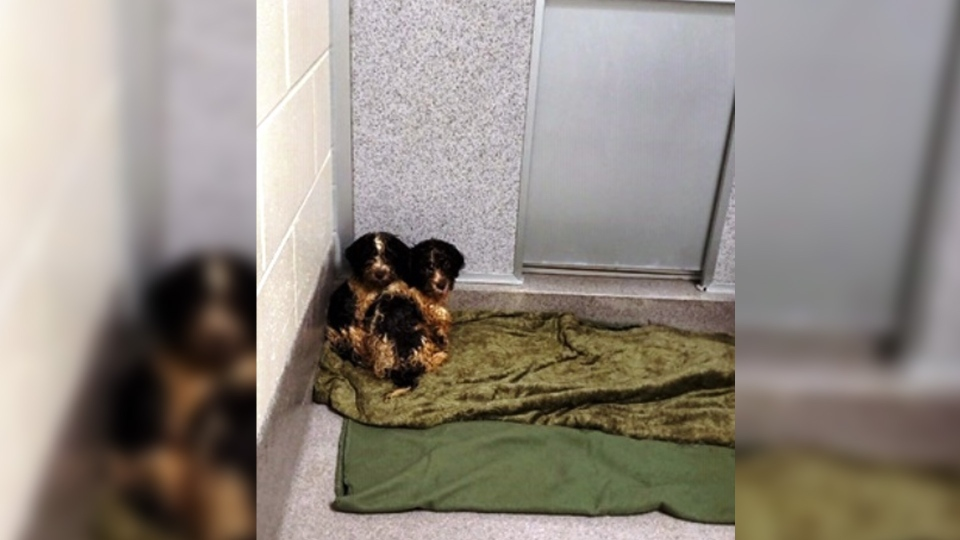 Dogs seized from a suspected puppy mill in northeast Edmonton. (Supplied: EPS)