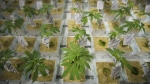 Plants from cannabis cuttings are photographed at the CannTrust Niagara Greenhouse Facility in Fenwick, Ont., on June 26, 2018. THE CANADIAN PRESS/ Tijana Martin