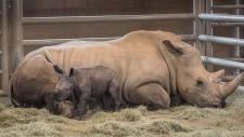 southern white rhino calf, 2019