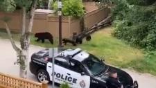 port moody black bear