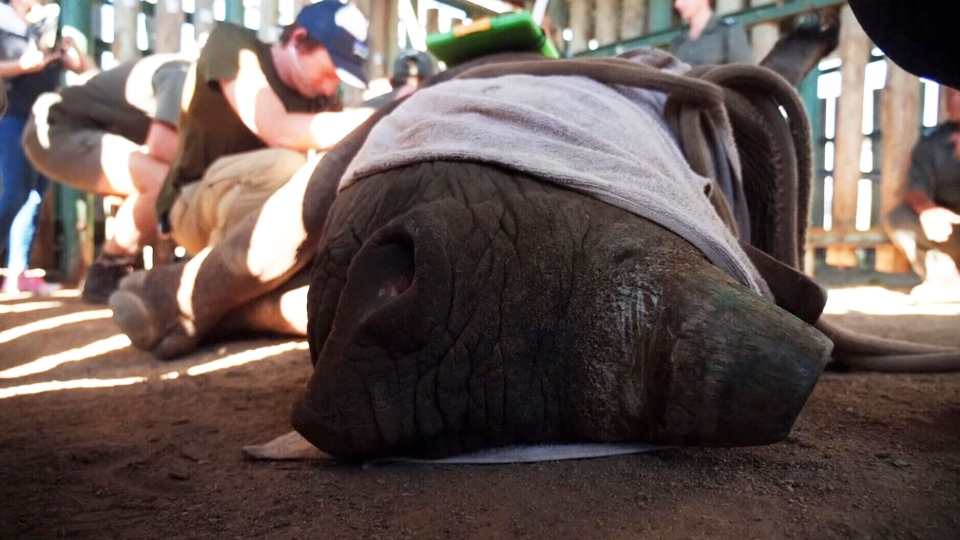 Black rhino fitted with fiberglass boot after being shot by