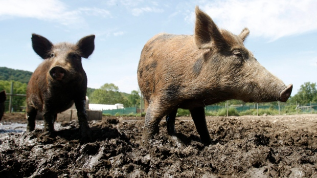 In this Aug. 24, 2011 photo, feral hogs walk in a holding pen at Easton View Outfitters in Valley Falls, N.Y. (AP Photo/Mike Groll)
