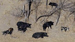 In this Feb. 18, 2009 file photo, feral pigs roam near a Mertzon, Texas ranch. (AP Photo/Eric Gay, File)