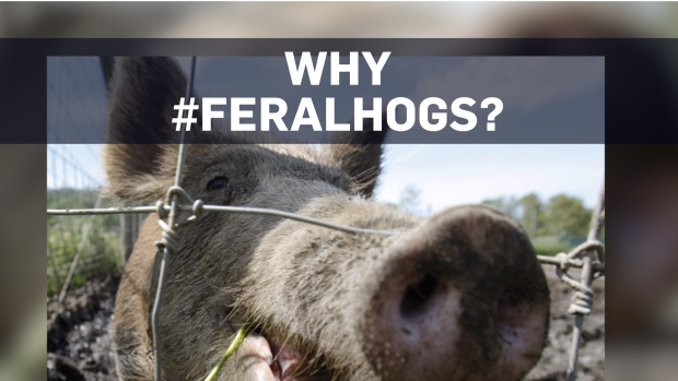 Feral hogs have taken over the conversation on Twitter | CTV