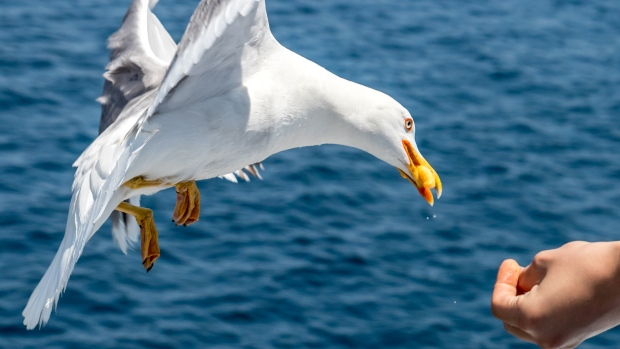 Staring at seagulls will help protect your food, say scientists