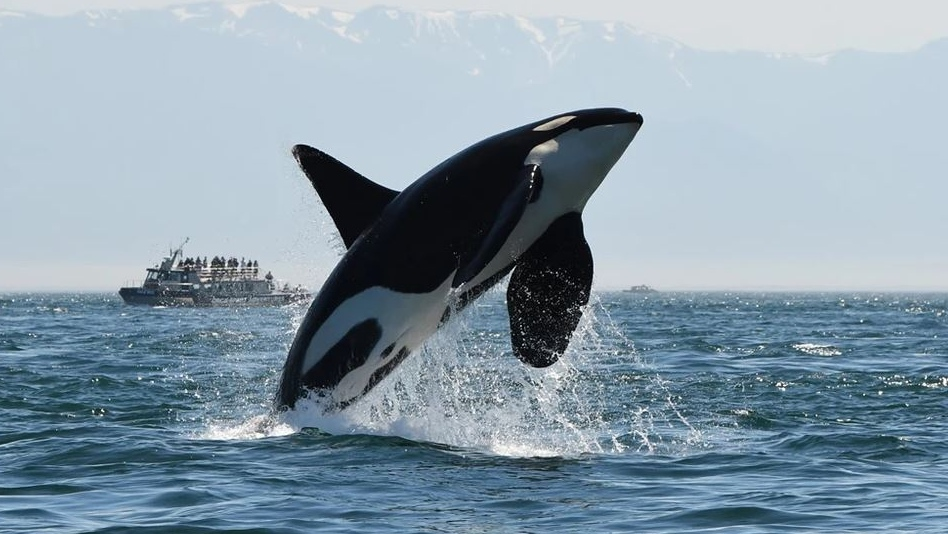 Southern resident orca K25 is seen in mid-breach. Researchers now fear the killer whale is one of three endangered southern residents that have died. (Dave Ellifrit/Center for Whale Research)
