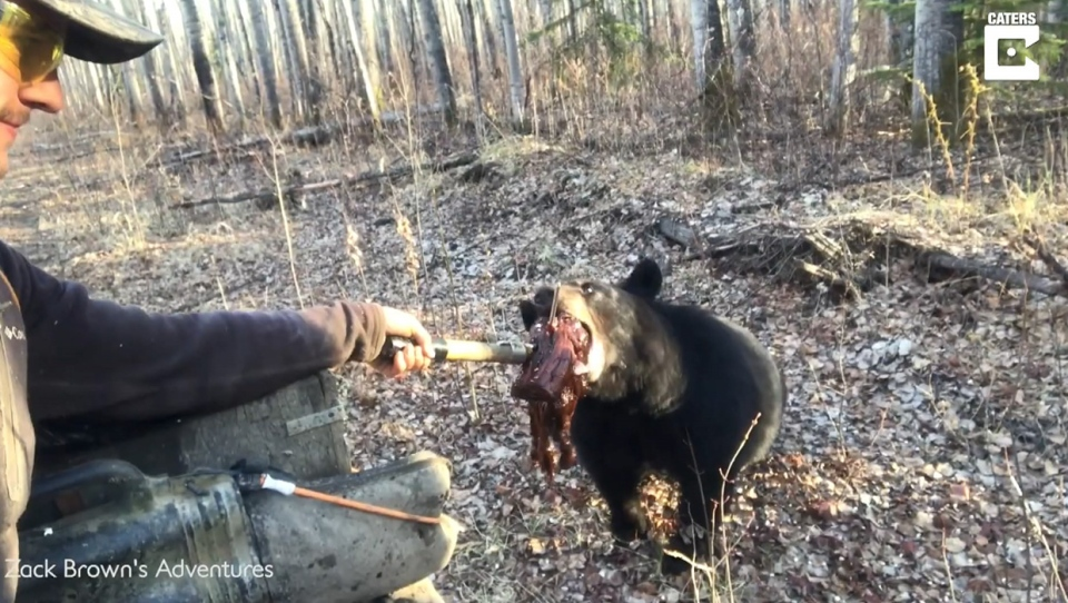 Zack Brown, black, bear, beaver, meat, feeding