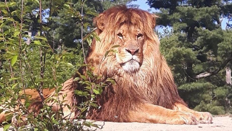 Obi the Lion