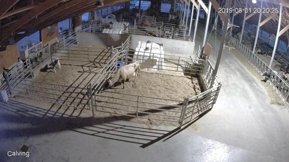 langley calf killed